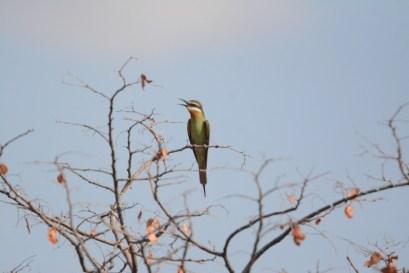 Olive Bee-eater along the Kunene