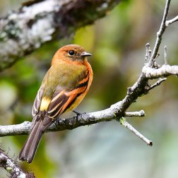 Cinnamon-Flycatcher