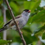 Bush-Blackcap