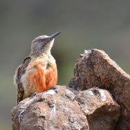 Ground-Woodpecker