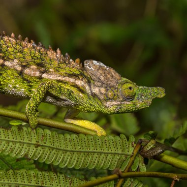 Chameleons-of-Madagascar-(1)