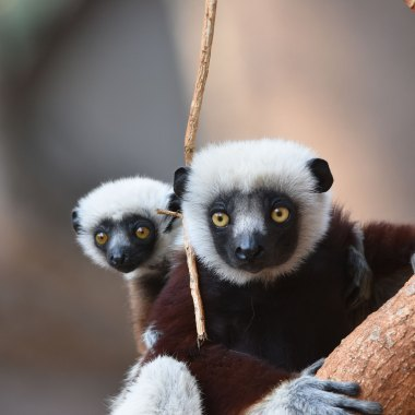 Coquerel's-Sifaka-(1)
