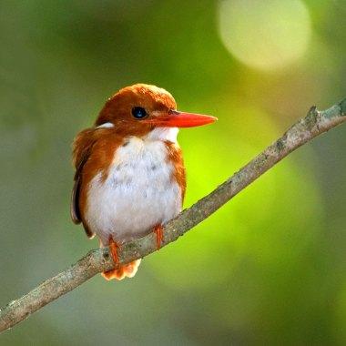 Madagascan-Pygmy-Kingfisher