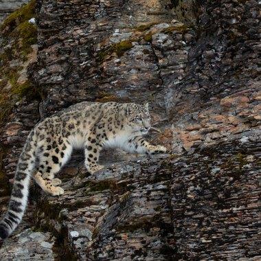 Snow-Leopard-(3)