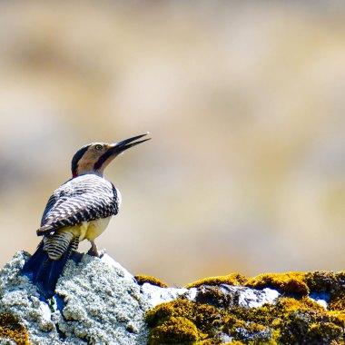 Andean-Flicker