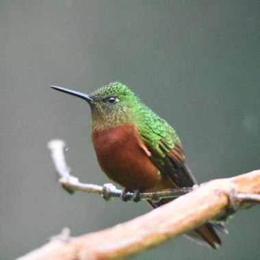 Chestnut-breasted-Coronet-(2)