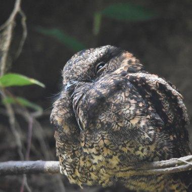 Lyre-tailed-Nightjar-Female