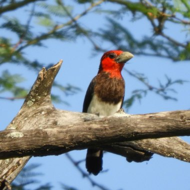 Brown-breasted-Barbet-in-Liwonde