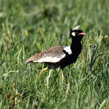 Northern-Black-Korhaan