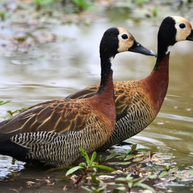 White-faced-Whistling-Duck-in-Kruger-NP