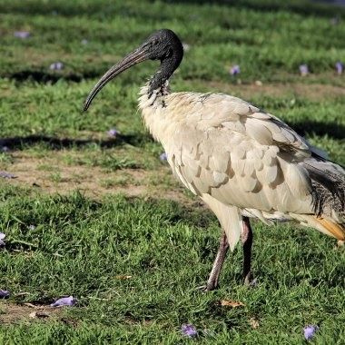 Australian-White-Ibis