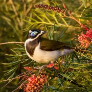 Sydney Birding