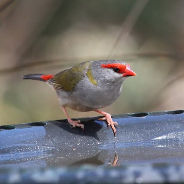 Red-browed-Finch