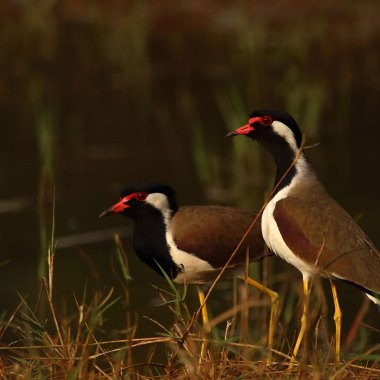 Red-wattled-Lapwings