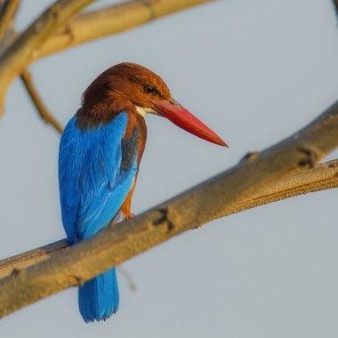 White-throated-Kingfisher