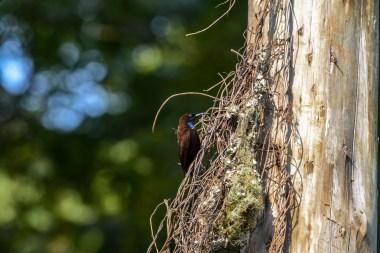 Blue-throated-Brown-Sunbird
