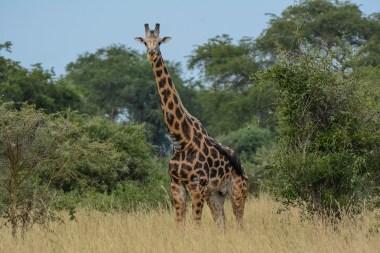 Giraffe.-Roshchilds.-Murchison