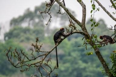 Ugandian-Red-Colobus-.Sebitoli