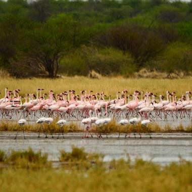 Flamingos-in-Etosha