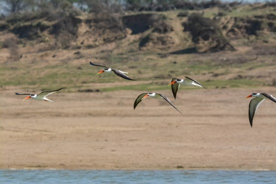 Indian-Skimmers