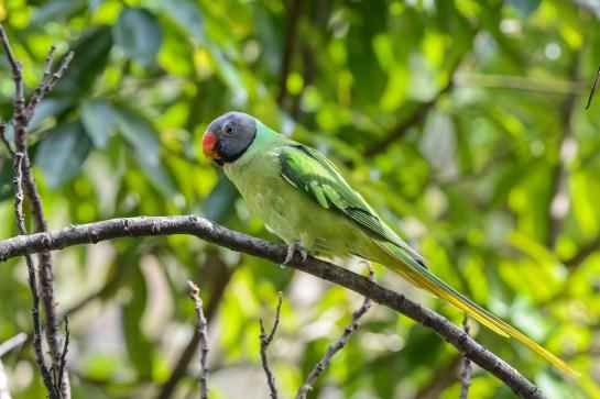 Slaty-headed-Parakeet