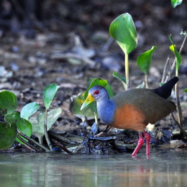 Grey-necked-Wood-Rail