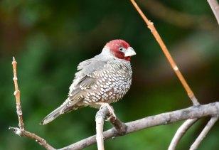 Red-headed-Finch