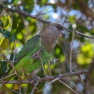 Brown headed Parrot. LS. 01 Oct 2018