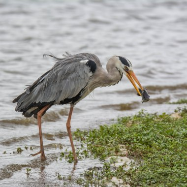 Grey heron fishing