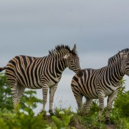 Zebra on Napi