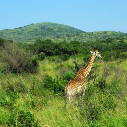 Landscape with Giraffe - Copy