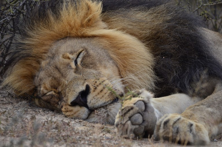 Lion sleeping.JPG