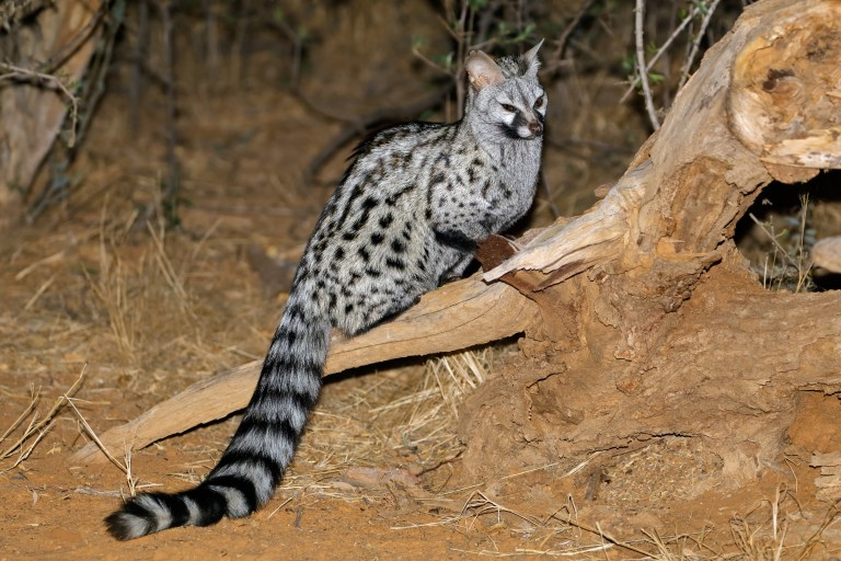 South African Large-spotted Genet (2).jpg