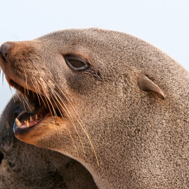 Seals at the Cape Cross Seal Reserve in Namibia