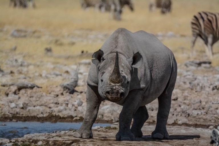 Black Rhino (2).jpg