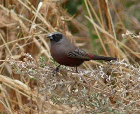 Black-faced Waxbill.JPG