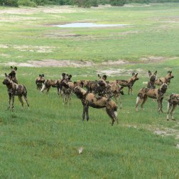 African-Wild-Dog-pack-in-the-Caprivi