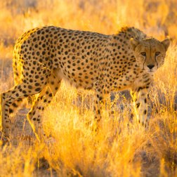 Cheetah-in-the-Caprivi