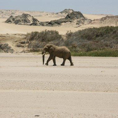 Desert-adapted-African-Elephant
