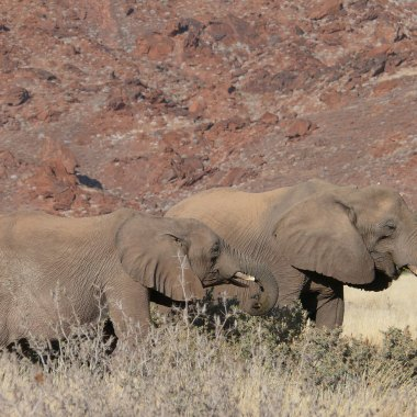 Desert-adapted-African-Elephants