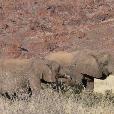 Desert-adapted-African-Elephants