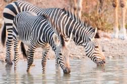 Hartmanns mnt zebra - ongava-3