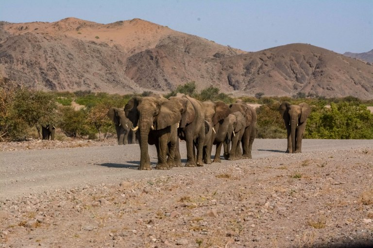 Herd-of-desert-adapted-African-Elephants-in-Damaraland