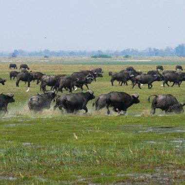 African-Buffaloes-in-Bwabwata