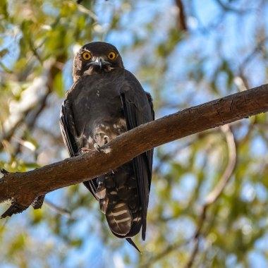 Bat-Hawk-in-a-Windhoek-suburb