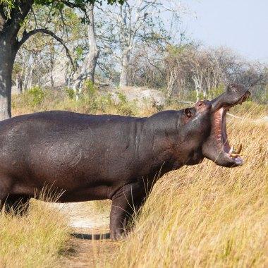 Hippopotamus-in-Bwabwata