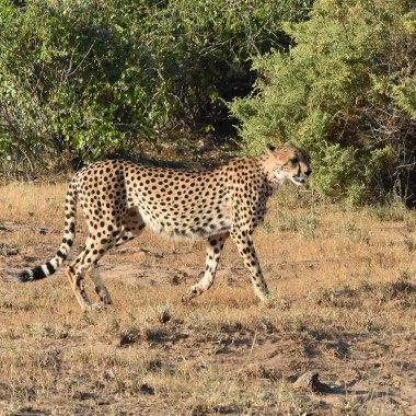 Cheetah-in-Mamili