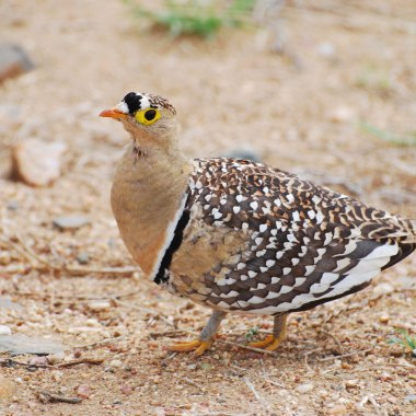 Double-banded-Sandgrouse