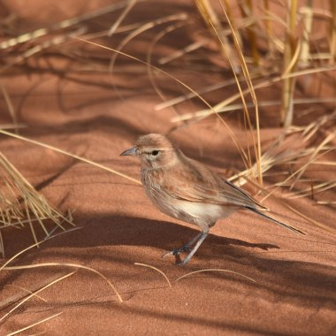 Dune-Lark-outside-Walvis-Bay - Copy
