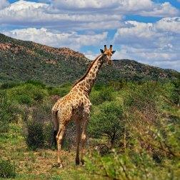 Erindi---Giraffe
